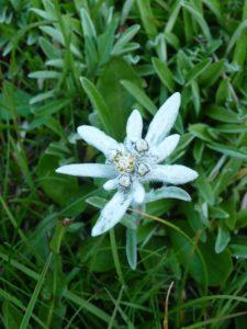 Vignette edelweiss